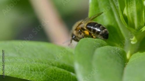 Zdjęcia na płótnie, fototapety, obrazy : close up of a bee on the leaf of a plant
