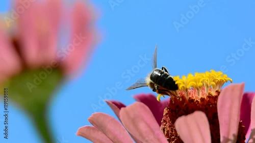 Zdjęcia na płótnie, fototapety, obrazy : Bee collects pollen on the flower close up