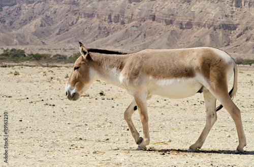 Poster Ezel The onager (Equus hemionus) is a brown Asian wild donkey inhabiting nature reserve park near Eilat