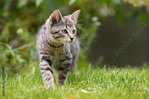 Poster Getigertes Kätzchen