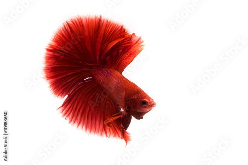 Siamese betta fish movement Poster
