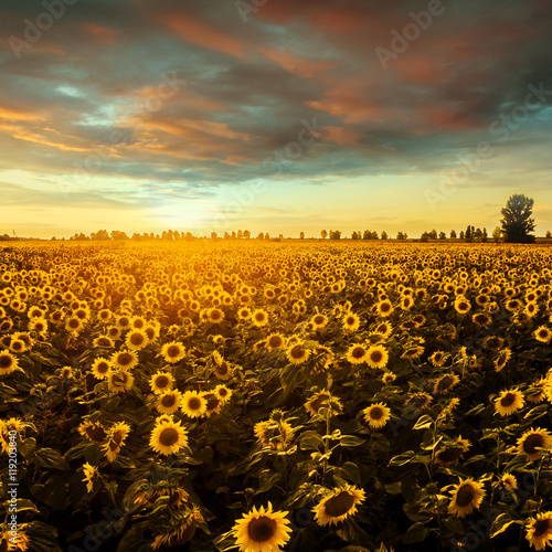 Fototapeta Field with blooming sunflowers on a background of sunset. Aerial view. From above. Outdoor.