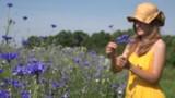romantic woman reap cornflower flowers in bouquet in field. 4K