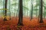 Buchenwald im Herbst mit rotem Herbstlaub