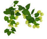 Hop cones with leaves / isolated without shadows /.