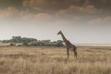 Giraffe in the Heart of the Serengeti