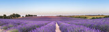 Fototapety Panorama of lavender field at sunset
