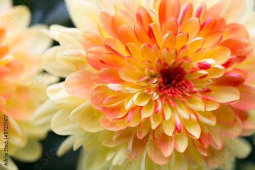 Poster Dahlia flowers close up for yellow background.