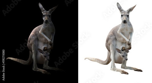 female kangaroo and joey