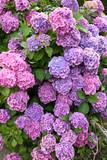 ortensia ortensie colori colorato cespuglio aiuola aiuole casa