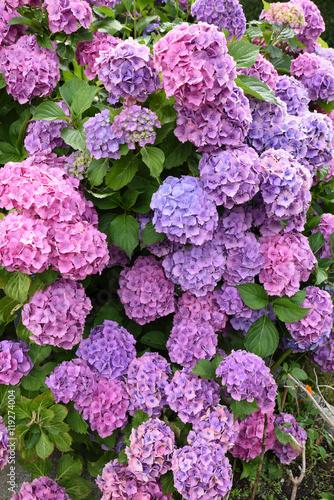 Fotobehang Hydrangea ortensia ortensie colori colorato cespuglio aiuola aiuole casa