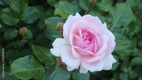 Zdjęcia na płótnie, fototapety, obrazy : blossoming roses plant in spring  garden