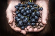 hands with cluster of black grapes, farming and winemaking conce
