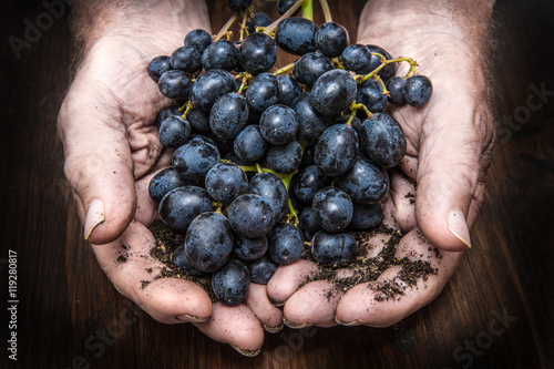 hands with cluster of black grapes, farming and winemaking conce Poster
