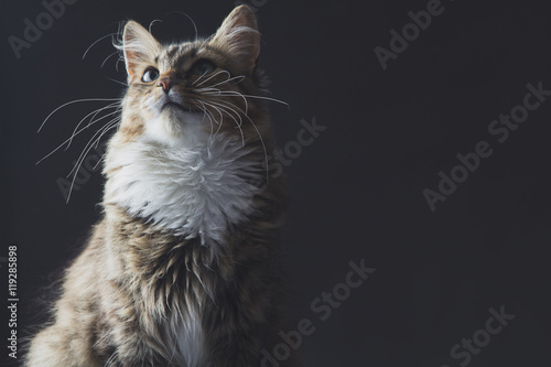 Plakat portrait of a beautiful cat on a gray background