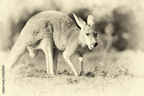Kangaroo in nature. Vintage effect - 119291001