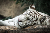 White tiger lying on the wooden log