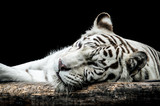 Portrait of a white tiger isolated on black