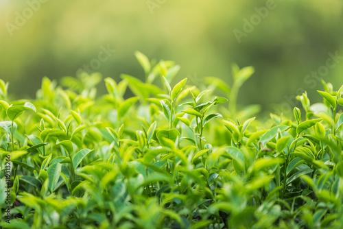 Staande foto India Green tea and fresh leaves