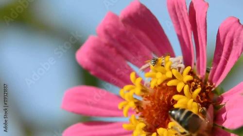 Zdjęcia na płótnie, fototapety, obrazy : spider trying to catch bee on the flower