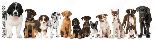 Deurstickers Franse bulldog Hundewelpen