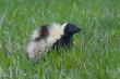 Wild Skunk