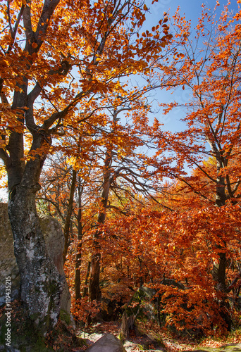 Poster Oranje eclat Colorful and bright autumn forest