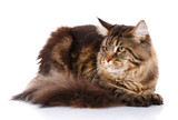 Maine Coon cat lying, isolated on white