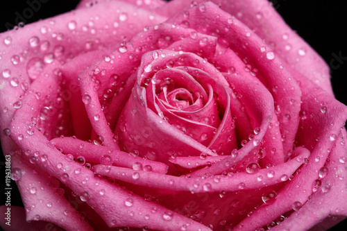 Pink rose close-up as background