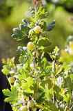 Krusbär på en buske