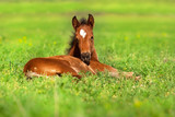 Foal rest on spring grass - 119466225