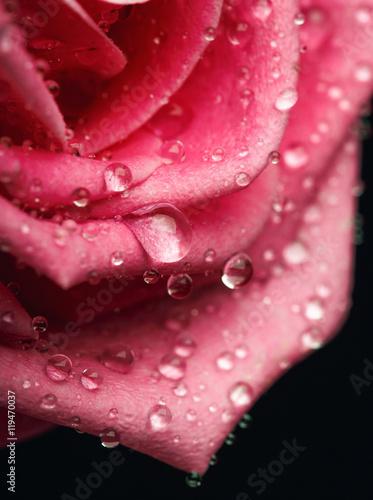 Closeup on Center of Beautiful pink Rose