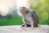 adorable grey pet rat posing outdoors