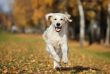 happy golden retriever dog running in autumn