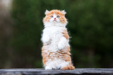 adorable fluffy red and white kitten outdoors