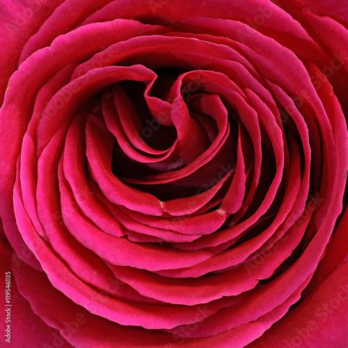 Cœur d'une rose rouge