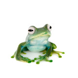 Emerald Tree frog on white background