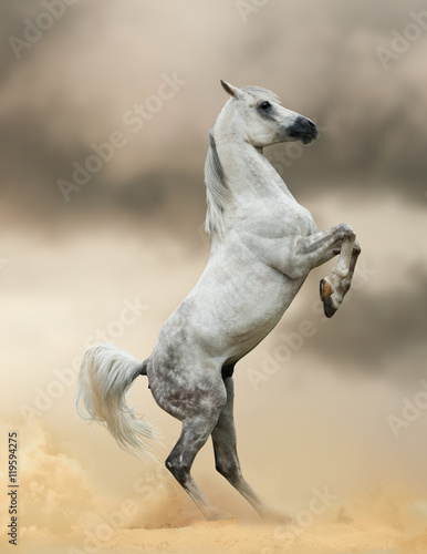 Poster arabian horse rearing in dust