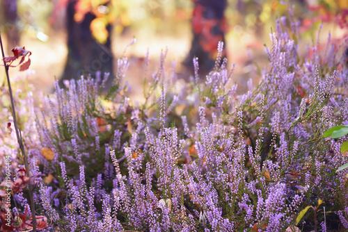 piękny bujny kwitnący fioletowy wrzos w lesie. W tle naturalne lato, jesienne tło, żółte i czerwone liście. Delikatne światło słoneczne.