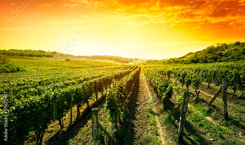 Beautiful sunset over vineyard © luckybusiness
