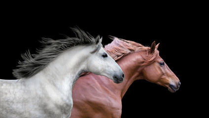 Red and white running horses portraits on the black background