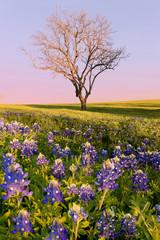 Wild flower Bluebonnet in Texas © wisanuboonrawd