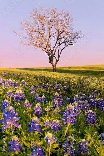 Wild flower Bluebonnet in Texas