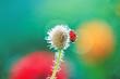 Morning walk on the poppy