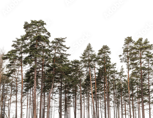 Pine trees forest isolated on white background