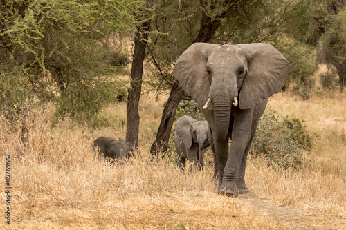 Zdjęcia Elephant family group walking out of the bush taken in Tanzania.
