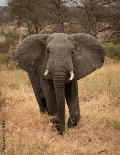 Zdjęcia Large bull Elephant close up with African savanna grasslands in the background