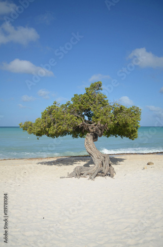 Poster Divi Divi Tree on Beach in Aruba