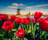 The famous Dutch windmills. - Fine Art prints
