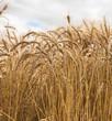 A beautiful macro of ripe golden bearded wheat against a blue sky in Saskatchewan